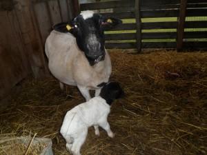 Das Schaf mit Lamm